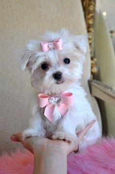 Regalo Adorables cachorros malteses