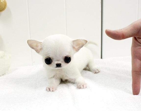 Regalo Adorables Cachorros de Chihuahua