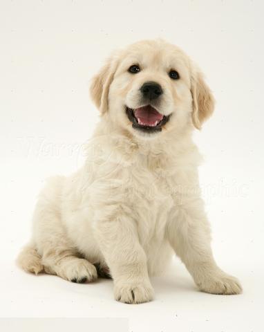 Regalo Cachorros de Golden Retriever