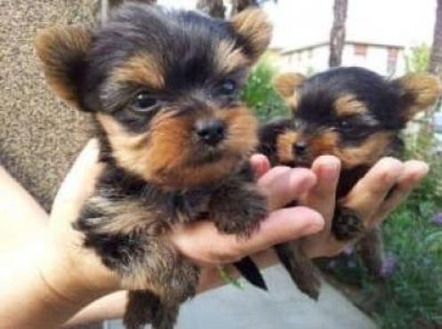 Regalo preciose cachorros yorkshire terrier para adopcion
