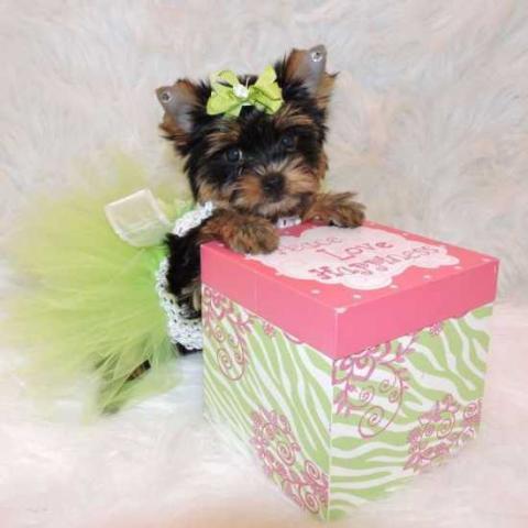 Navidad taza de té yorkie cachorros en adopción ahora