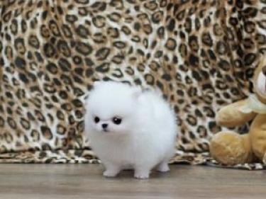 REGALO Pomerania Mini Toy Para Adopción