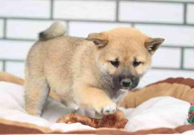 Lindo cachorros de shiba Inu Para Adopcion