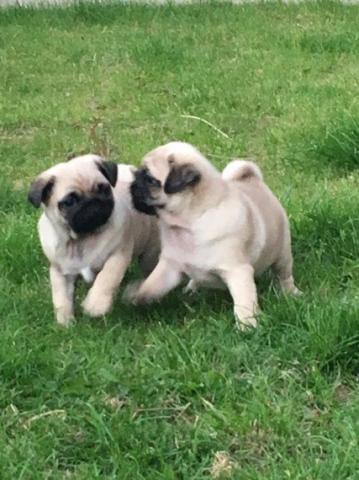 Regalo dulce pug carlino cachorros para adopcion