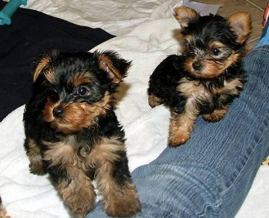 Regalo cachorros toy de yorkshire terrier mini para adopcion