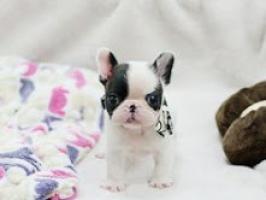 Regalo cachorros Bulldog Frances