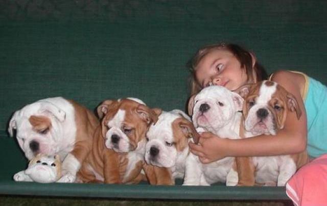 Regalo Bulldog Ingles CACHORROS PARA SU Adopción