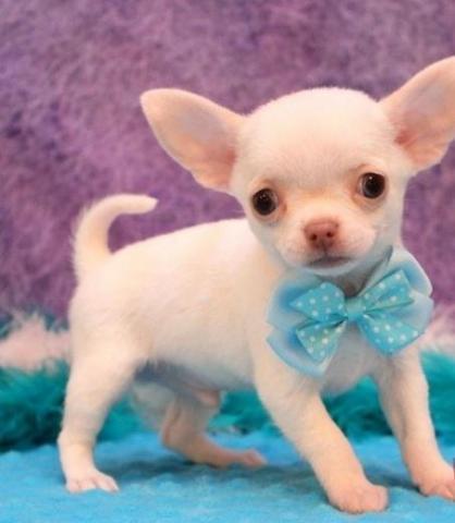 Perros Regalo Chihuahua Cachorros Macho De Segunda Mano En Las Palmas