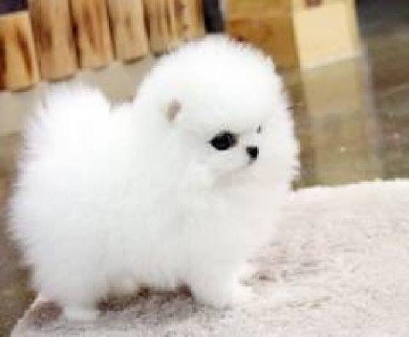 Regalo Cachorro de Pomerania inestimable blanco para la adopción