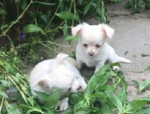 REGALO Chihuahua Cachorros mini toy Para Adopción