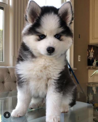 Precioso Wee Siberian Husky Boy
