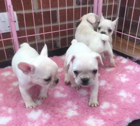Regalo Bulldog Frances CACHORROS PARA SU Adopción