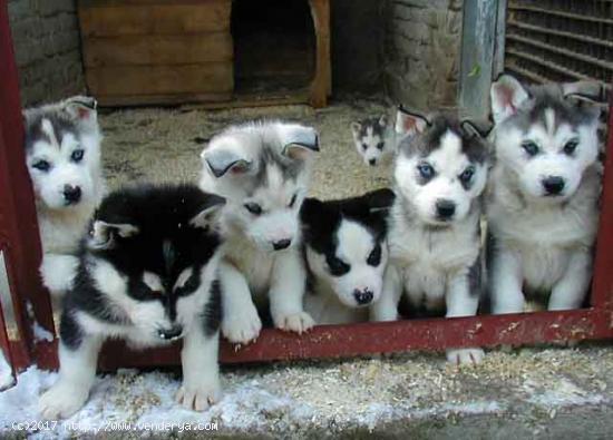 REGALO HUSKY SIBERIANOS Cachorros Para Su Adopción