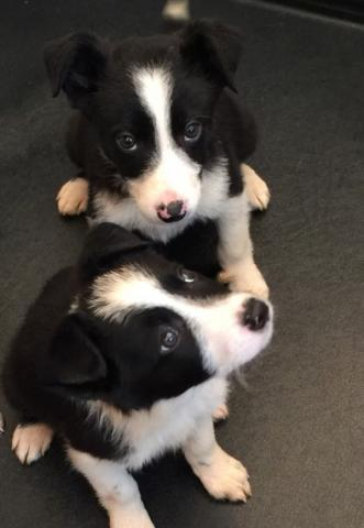 Regalo pura raza de border Collie para adopcion
