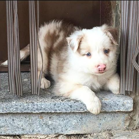 Border Collie, RED MERLE EXCLUSIVO