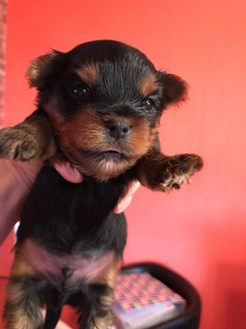 Deliciosos cachorros de Yorkshire Terrier