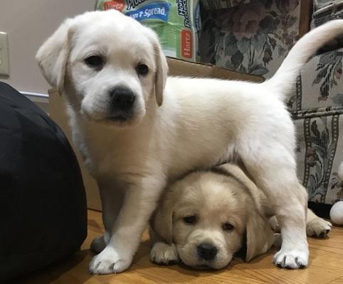 se regalan cachorros de labrador