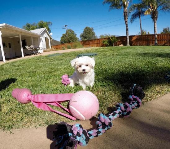 Adorables cachorros malteses destacados