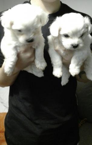 Regalo preciose cachorros Bichon maltes para adopcion