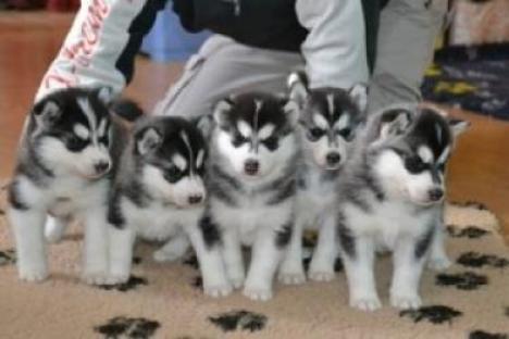 Regalo magníficos cachorros de husky siberiano