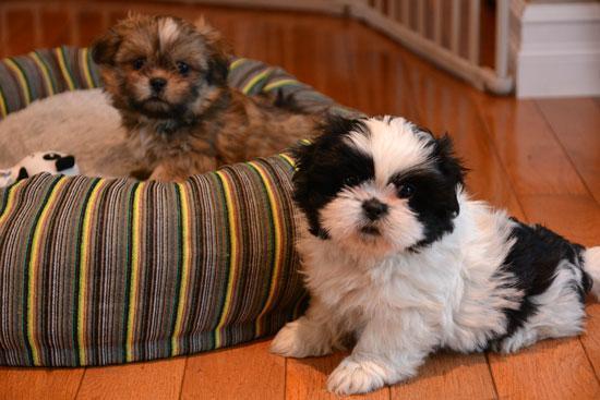 REGALO Cachorros Shih Tzu Mini Toy Para Adopción
