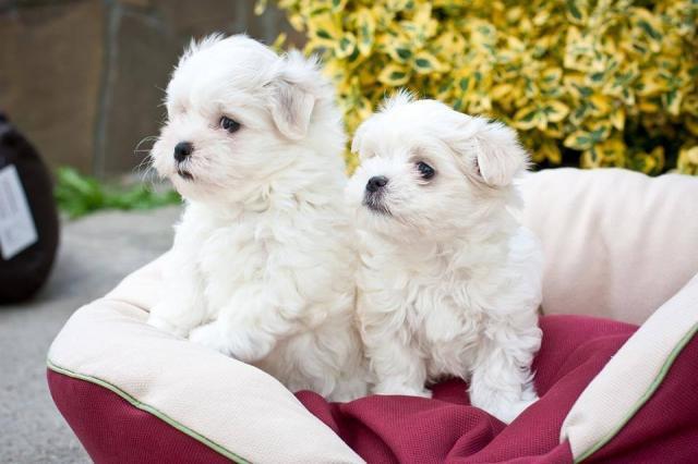 Regalo magnífico bichon maltes cachorros