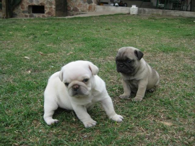 Regalo lindo carlino pug cachorros para adopcion