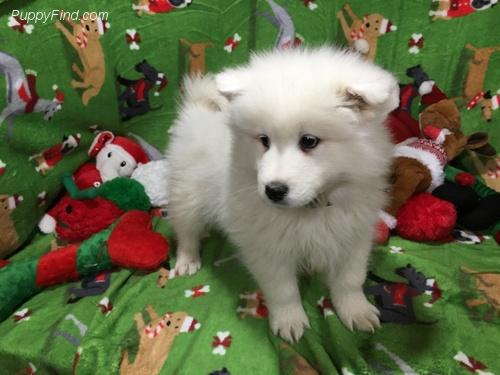 Regalo cachorros samoyed disponibles