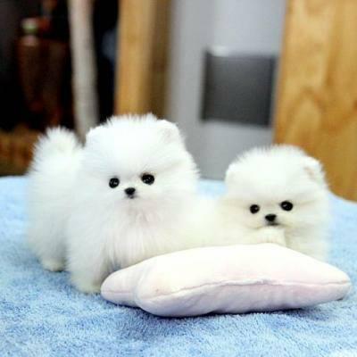 REGALO Cachorros Pomerania Mini Toy Para Adopción