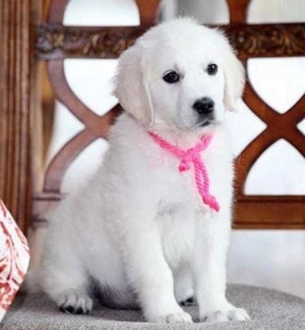 Regalo cachorros golden retrivever disponibles