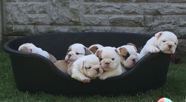 REGALO Súper adorable cachorros de Bulldog ingés.