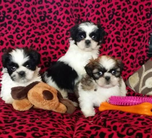 Regalo cachorros de Shih Tzu