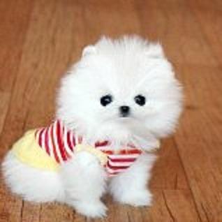 Regalo Cachorros Lulu Pomeranian Mini Toy