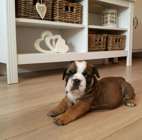 Impresionantes T-Cup bulldog inglés cachorros disponibles