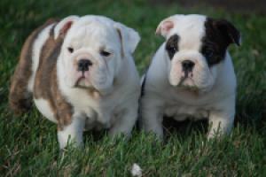Regalo adorables bulldog ingles cachorros con vacuna