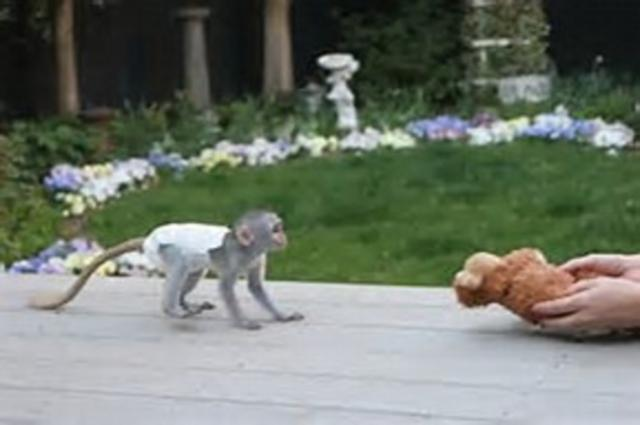 Regalo inteligente Monos Capuchinos Para Su Adopción
