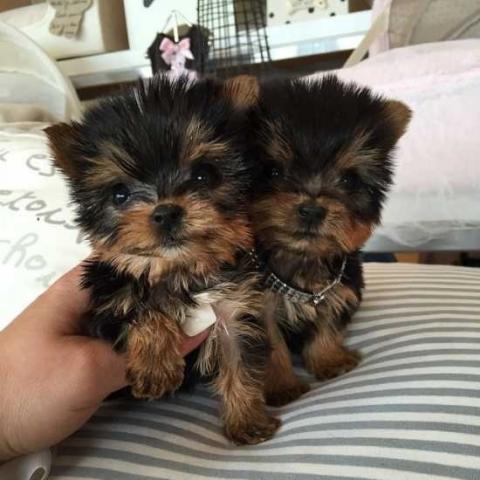 Regalo cachorros yorkshire