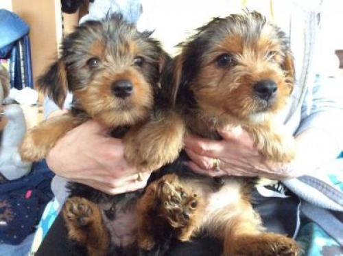 REGALO 2 Cachorros Yorkshire mini toy Terrier Disponibles
