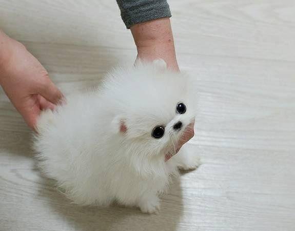Regalo lindo mini pomeranian toy lulu cachorros para la adopcion