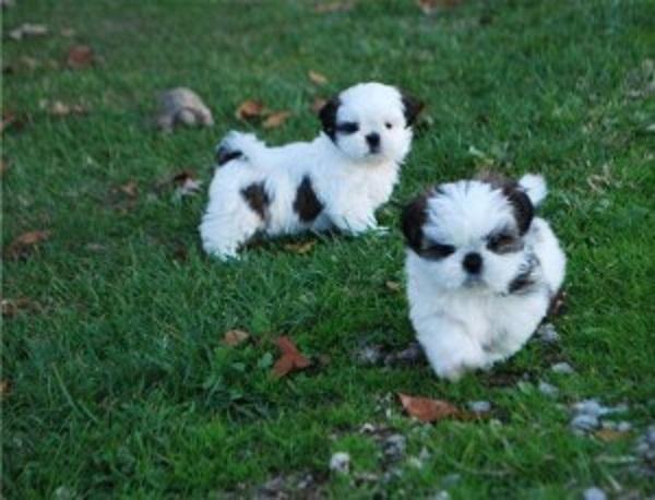 REGALO Cachorros Shih Tzu, Mini Toy Para Adopción