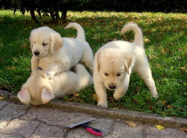 Cachorros de Golden Retriever - Masculino y Femenino