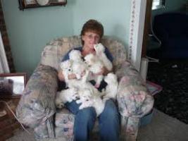 Regalo cachorros bichon maltes mini toy