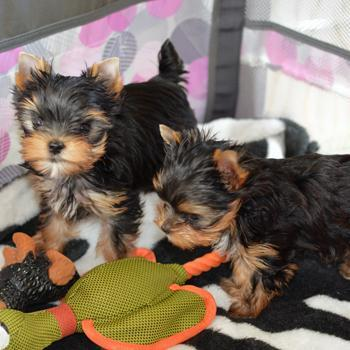 cachorros toy de yorkshire terrier mini para adopcion