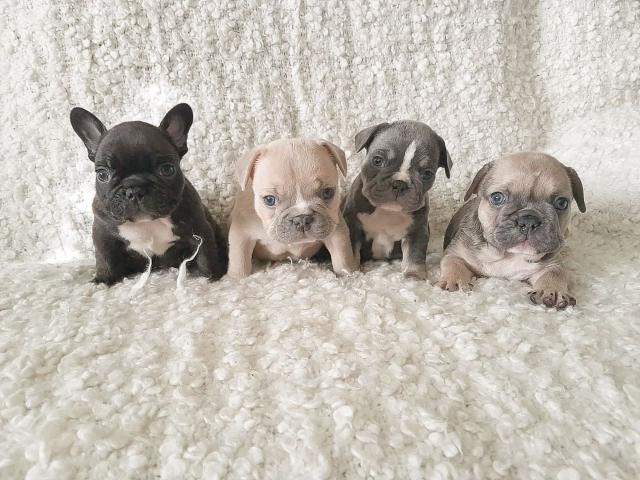 Regalo Cariñosos cachorros de Bulldog Francés