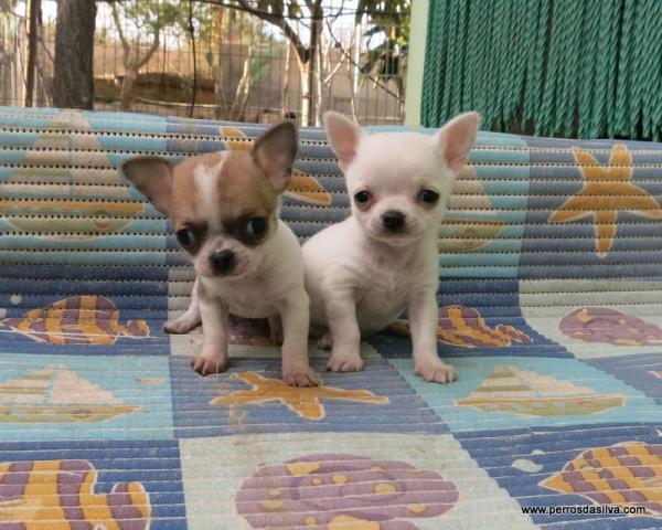 REGALO Cachorros Chihuahua Para Adopcion