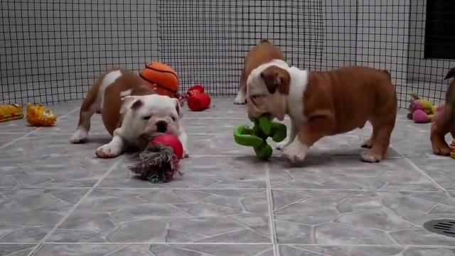 regalo Excelentes cachorros de bulldog ingles, machos y hembras