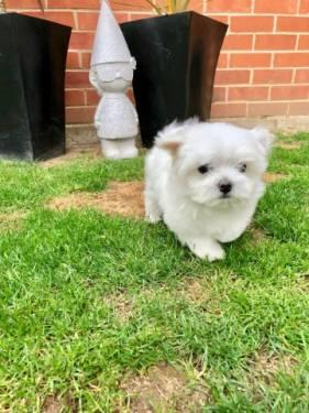 Regalo Preciosos Cachorros de Bichón Maltés Mini Toy