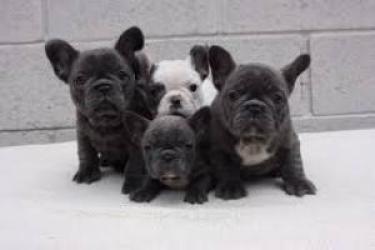 REGALO Linda Bulldog Francés Cachorros Para Adopción
