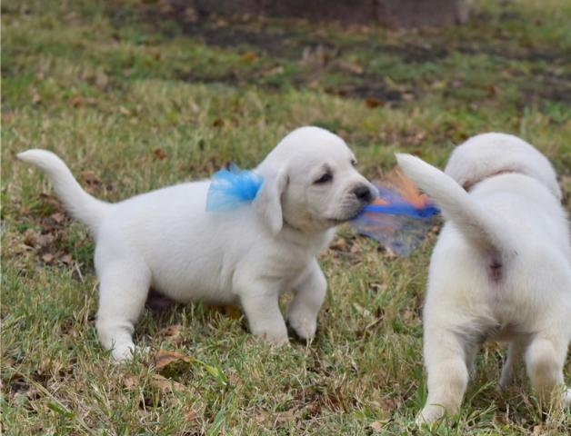 Regalo macho y hembra Labradores cachorros