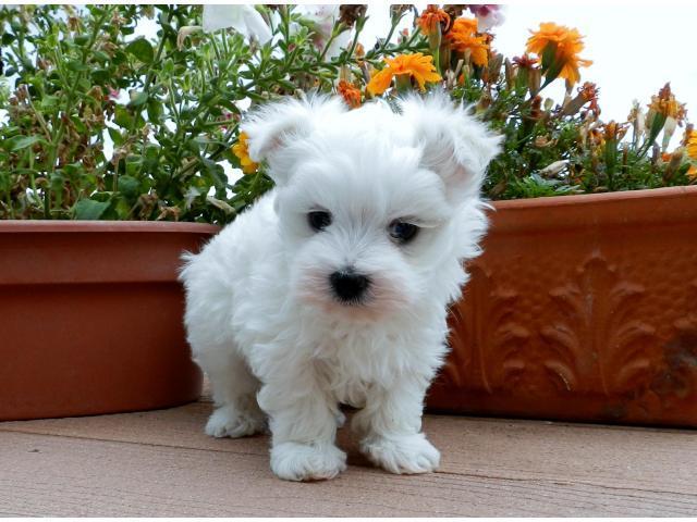 REGALO Bichón Maltés Mini Toy Cachorros Para Su Adopción